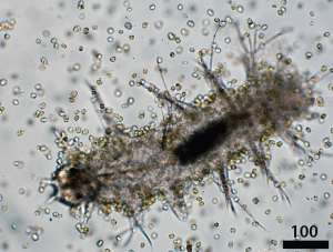 Karlodinium ganging up and munching on a copepod